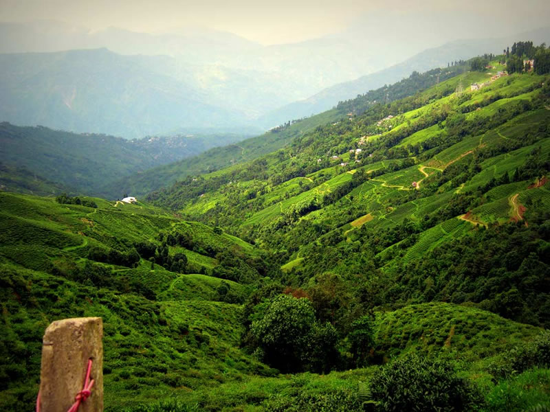 The lush green tea estates of the Darjeeling town